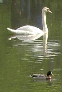 Ente oder Schwan